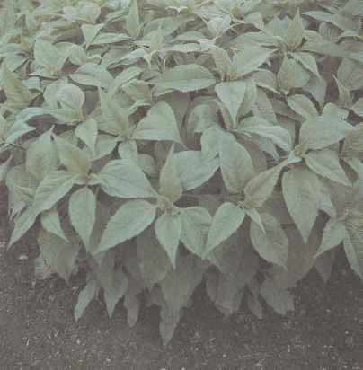 Выращивание топинамбура и его сорта