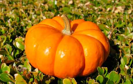 Выращивание тыквы, сорта тыквы Польза продуктов Пряности и приправы
