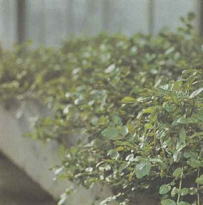 Выращивание водяного кресса, сорта, свойства