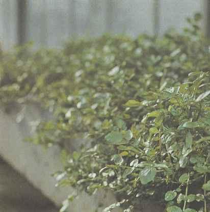 Растения водяного кресса