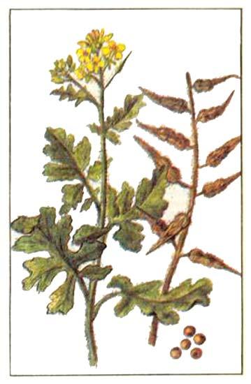 Горчица Brassica nigra (горчица черная) Sinapis alba (горчица белая)