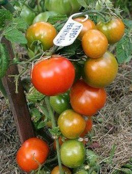 Лучшие сорта томатов, гибриды томатов