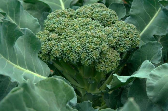 Выращивание брокколи, свойства брокколи