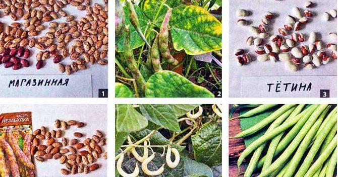 Выращивание фасоли. Сорта фасоли