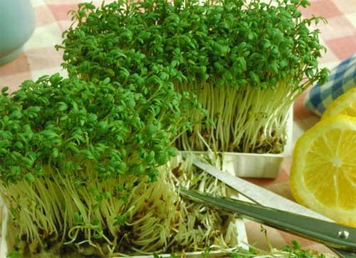 Выращивание кресс-салата, его свойства