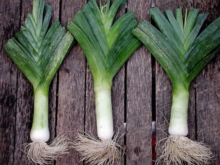 Выращивание лука-порея. Сорта лука-порея