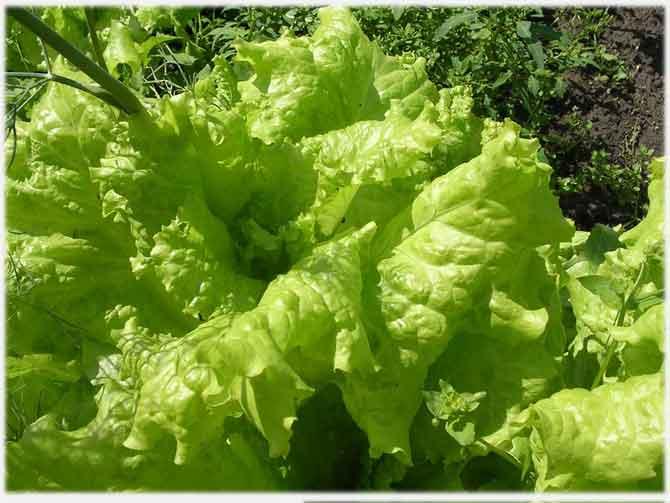 Выращивание салата листового, его использование, свойства